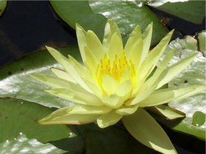 Symbolbild Lotus Yoni-Massage Mari Sawada